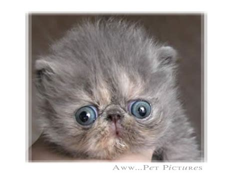 pug faced cat 17 best images about kittens on cutest pets cats and siamese kittens