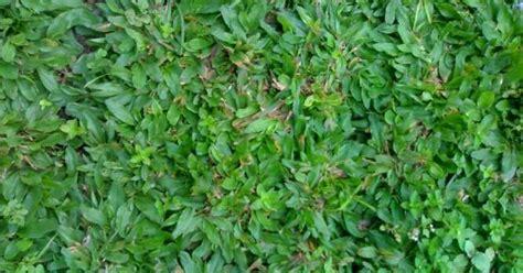 Kipas Salju tukang taman murah rumput vetiver tanaman hias biji