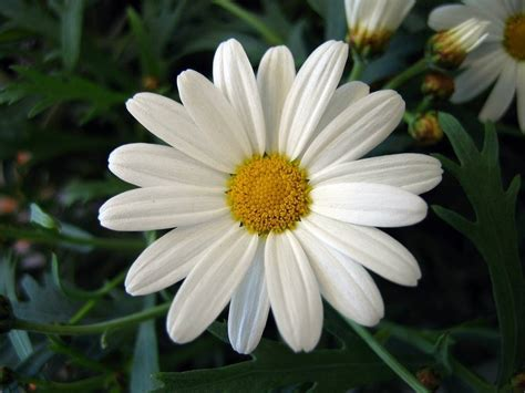 margherita fiore fiori margherita fiori di piante