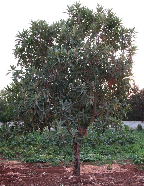 fruit trees for sale wisconsin loquat fruit for sale carolina loquats trees for
