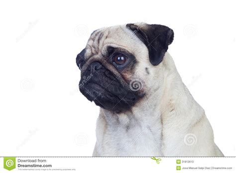 hair pug pug with white hair stock photos image 31812613