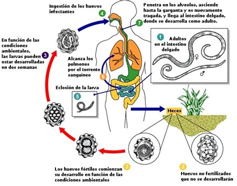 cadena epidemiologica trichuris trichiura zoowiki