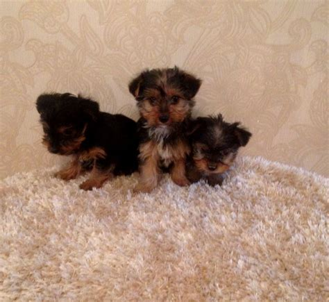 rescue puppies nyc yorkie puppies for adoption in ny breeds picture