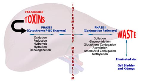 Detoxic For Drugs And Blood by Liver Detox Phases