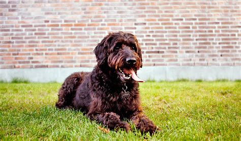 mini labradoodles height labradoodle height 14 15 inches labradoodle weight