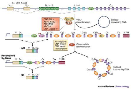 j protein immunoglobulins antibody immunology