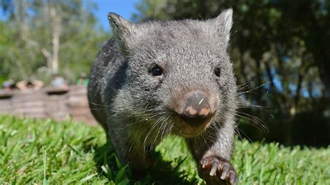 8 Animals From Australia Id To See by Australian Animals The Wombat Tourism Australia