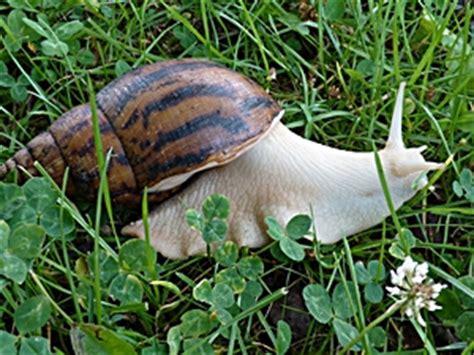 albino giant african land snail achatschnecken achatinidae