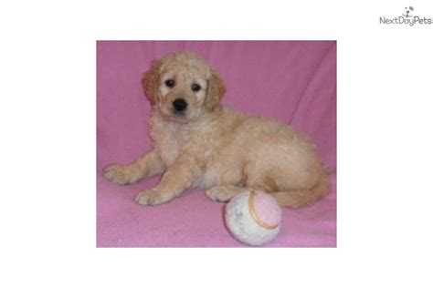 goldendoodle puppy for sale in ohio goldendoodle puppy for sale near akron canton ohio