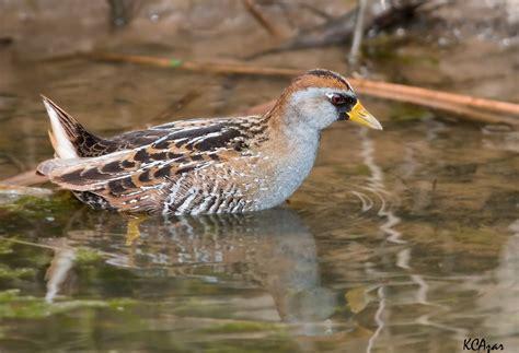 sora www allaboutbirds org guide sora lifehistory member