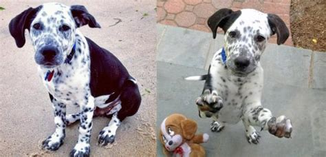 dalmatian and golden retriever mix 26 labrador cross breeds you to see to believe