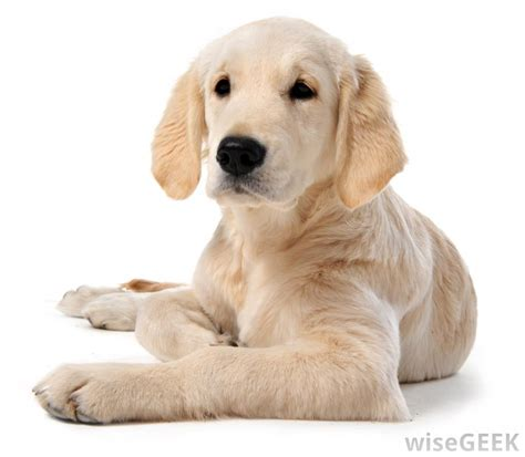 family puppy what are the best breeds for a family pet with pictures