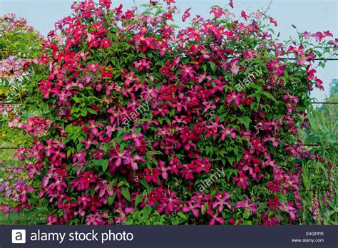 climbing plants for fence clematis madame correvon climbing fence divider west