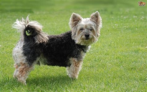 looking for a yorkie puppy terrier breed information buying advice photos and facts pets4homes