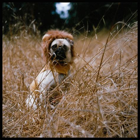 pugs lions pug no i was going through some of my tlr fil flickr photo