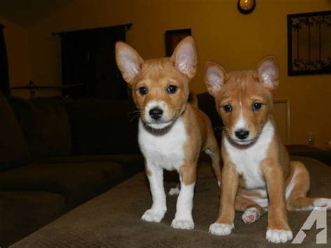 basenji puppies price adorable purebred basenji puppies for sale with ckc papers for sale in washington