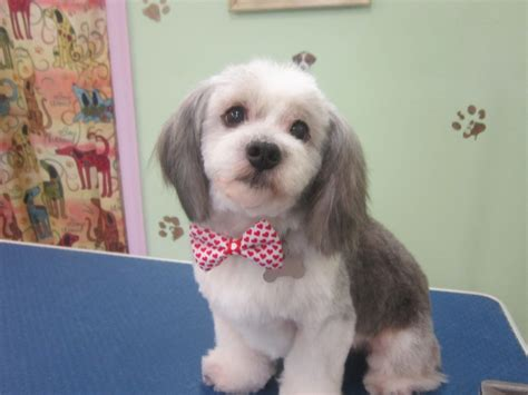 how to do a teddy bear trim on a yorkshire terrier teddy bear haircut for lhasa apso haircuts models ideas