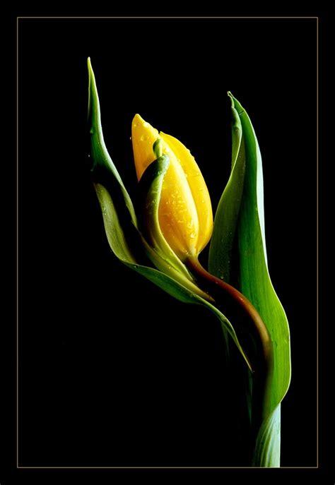 boccioli di fiori bocciolo foto immagini piante fiori e funghi