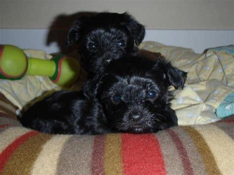 yorkie puppies ottawa maltese poodle puppies yorkie mix puppies rockland ottawa