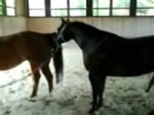 hengste beim decken fick pferd doovi
