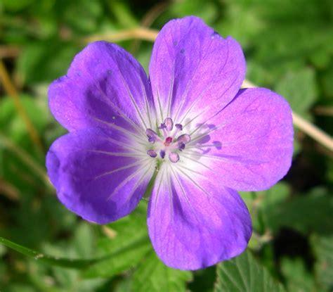 foto fiore viola fiore cinciamogia