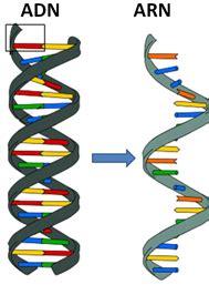 cadenas adn y arn acidos nucleicos on emaze