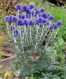 Echinops ritro ruthenicus buy online at annie s annuals