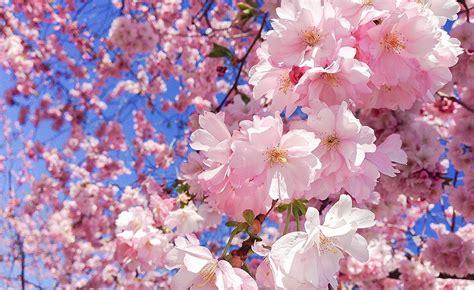 ciliegio in fiore hanami festa ciliegio in fiore all orto botanico