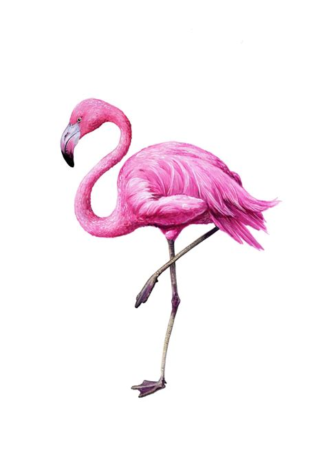flamingo wallpaper sydney flamingo flamingo tattoo and wallpaper
