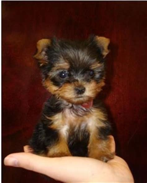craigslist teacup puppies teacup yorkies furbabies