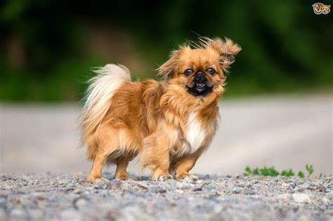looking for puppies pekingese breed information buying advice photos and facts pets4homes
