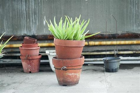 How To Revive A Dying Plant by How To Revive A Dying Aloe Vera Plant