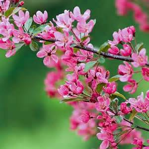 Flower Tree Pictures - trees for sale at the arbor day tree nursery