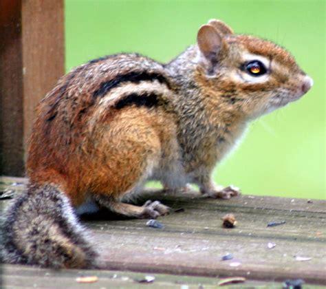 a chipmunk picture 7 of 10 chipmunk tamias striatus pictures
