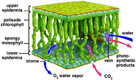 mesophyll cell diagram is there any difference between a palisade cell and a