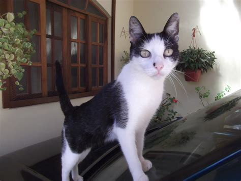 gato pelo corto gato brasile 241 o de pelo corto mundogatos
