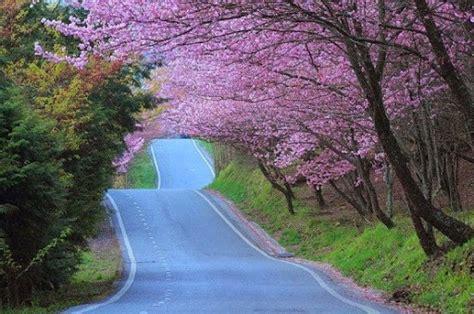 wallpaper pemandangan alam jepang gambar pemandangan bunga sakura pemandangan bunga anggrek