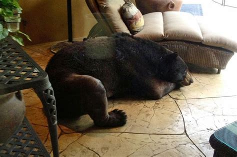 bear in house bear pictured asleep inside house in naples florida after breaking in mirror online