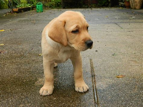 puppy yellow lab golden labrador golden retriever x lab info temperament