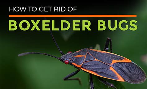 all about boxelder bugs