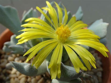 schwantesia borcherdsii world  succulents
