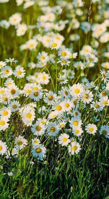 fiori bianchi per te canzone oltre 25 fantastiche idee su margherite su
