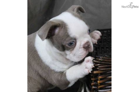 how much are boston terrier puppies pictures of boston terrier puppies 19 background dogbreedswallpapers