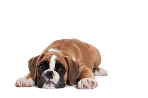murmur in puppies murmurs in puppies what to think royal canin breeders club