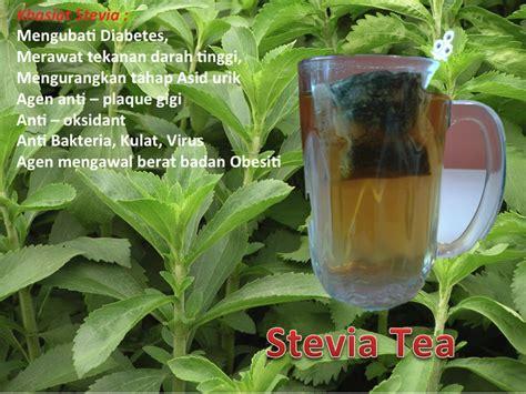 Benih Pokok Stevia Selangor stevia rebaudiana pembekal daun stevia kering