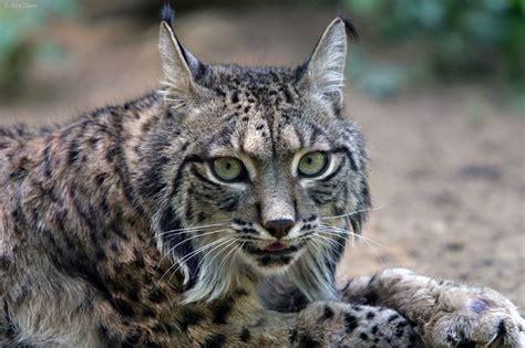 imagenes impactantes de felinos 26 magn 237 ficos felinos que quiz 225 s no conoc 237 as y que est 225 n