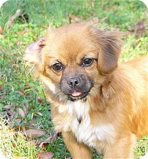 pug pomeranian mix puppies carli adopted mocksville nc pomeranian pug mix
