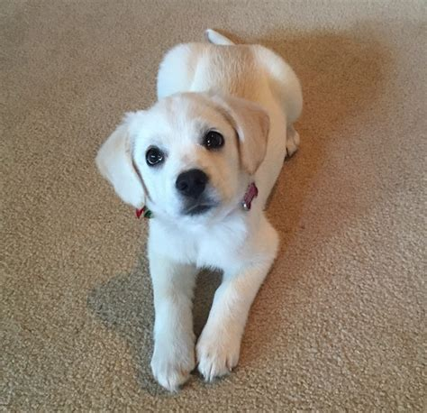 call puppy white labrador mix puppies www pixshark images galleries with a bite