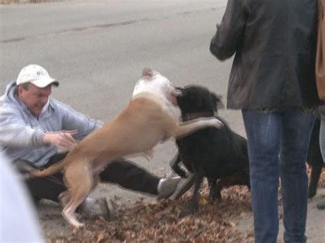 free pitbull puppies nj pit bull attacks breeds picture