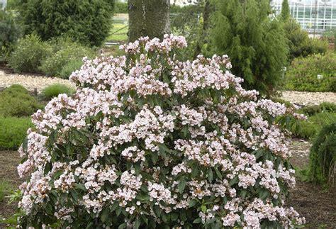 kalmia latifolia 3 13 kalmia latifolia larc316 blog of lucia
